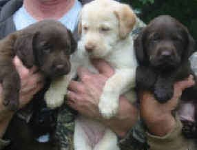 chocolate lab puppies - yellow english labrador pup