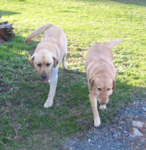 yellow labrador dogs