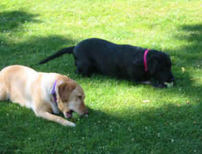 yellow lab and black lab chewing toys