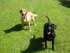 black labrador retriever and yellow lab