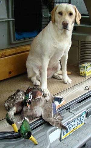 Hunting Labrador Retrievers - Klondike Labradors of ...  Hunting Labrado...